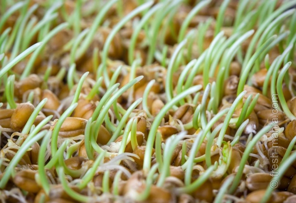 Подбирайте пророщенные зерна под свой организм