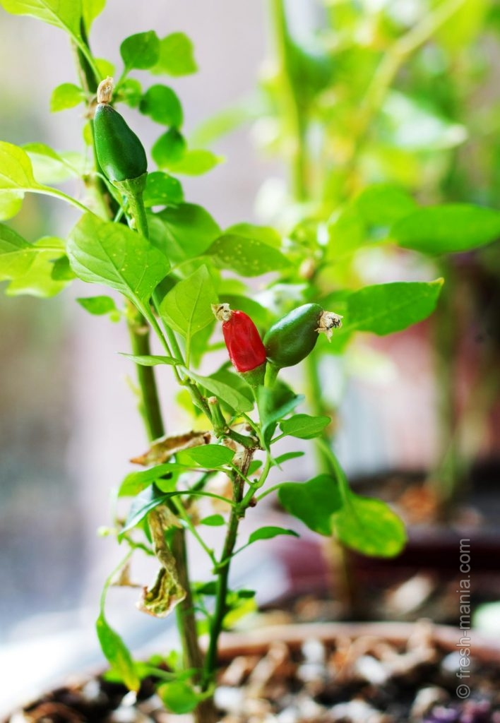 В домашних условиях можно вырастить зелень и овощи