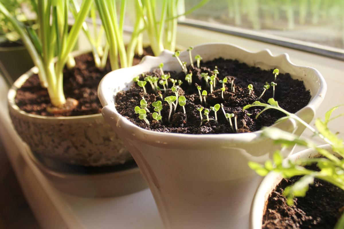Из каких растений организовать огород на подоконнике?