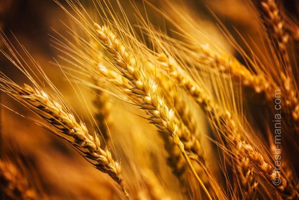 Тритикале сочетает в себе лучшие качества пшеницы и ржи