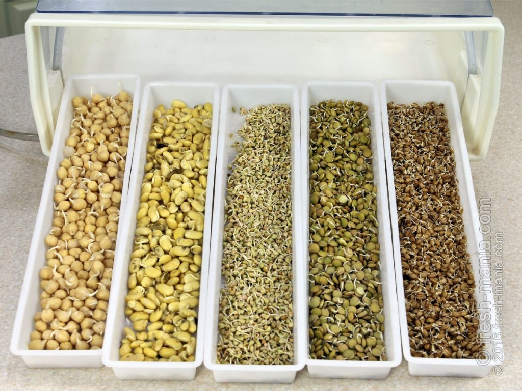 Пророщенные зерна готовы стать ростками