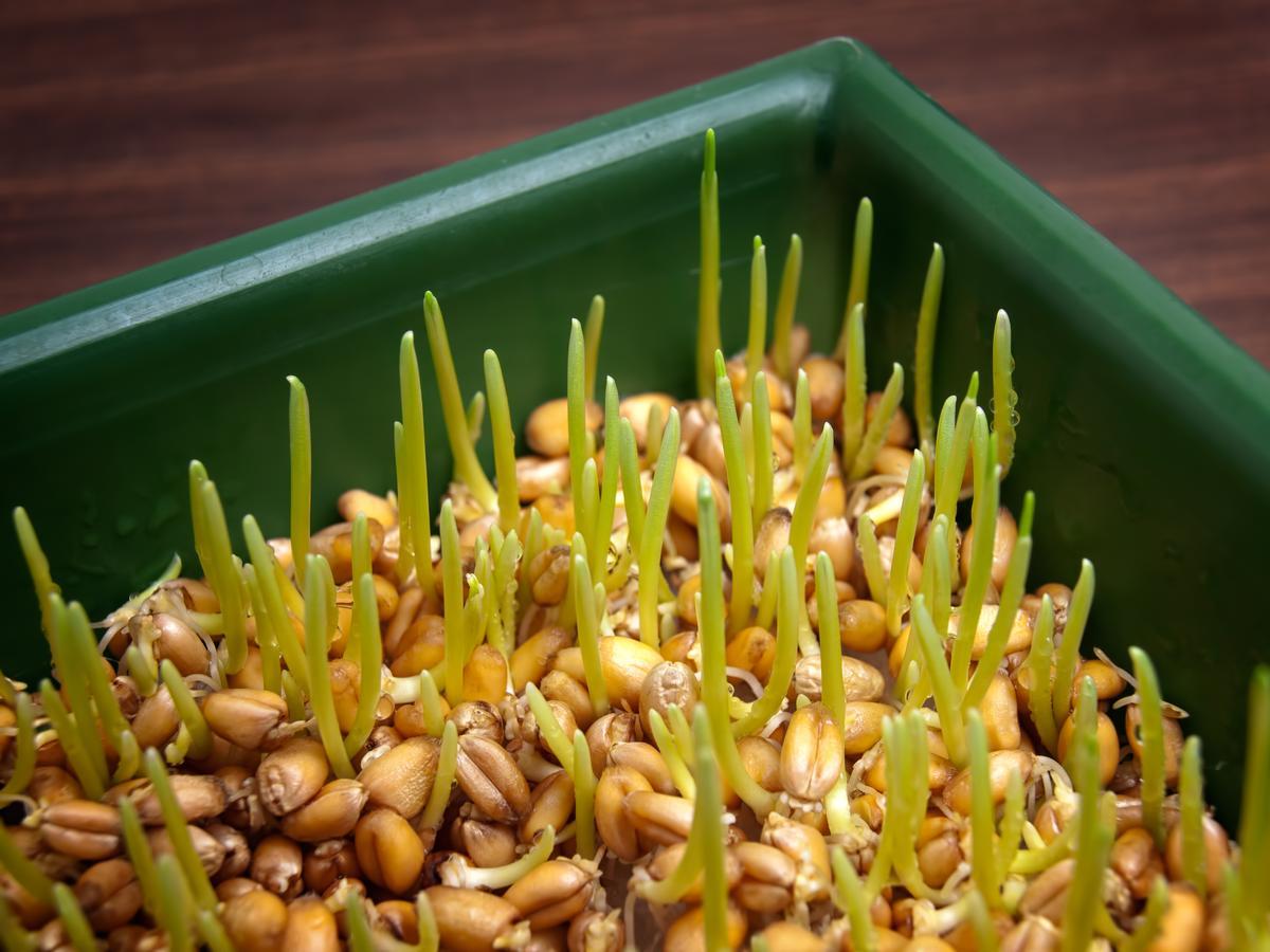 Как прорастить пшеницу без специальных приспособлений