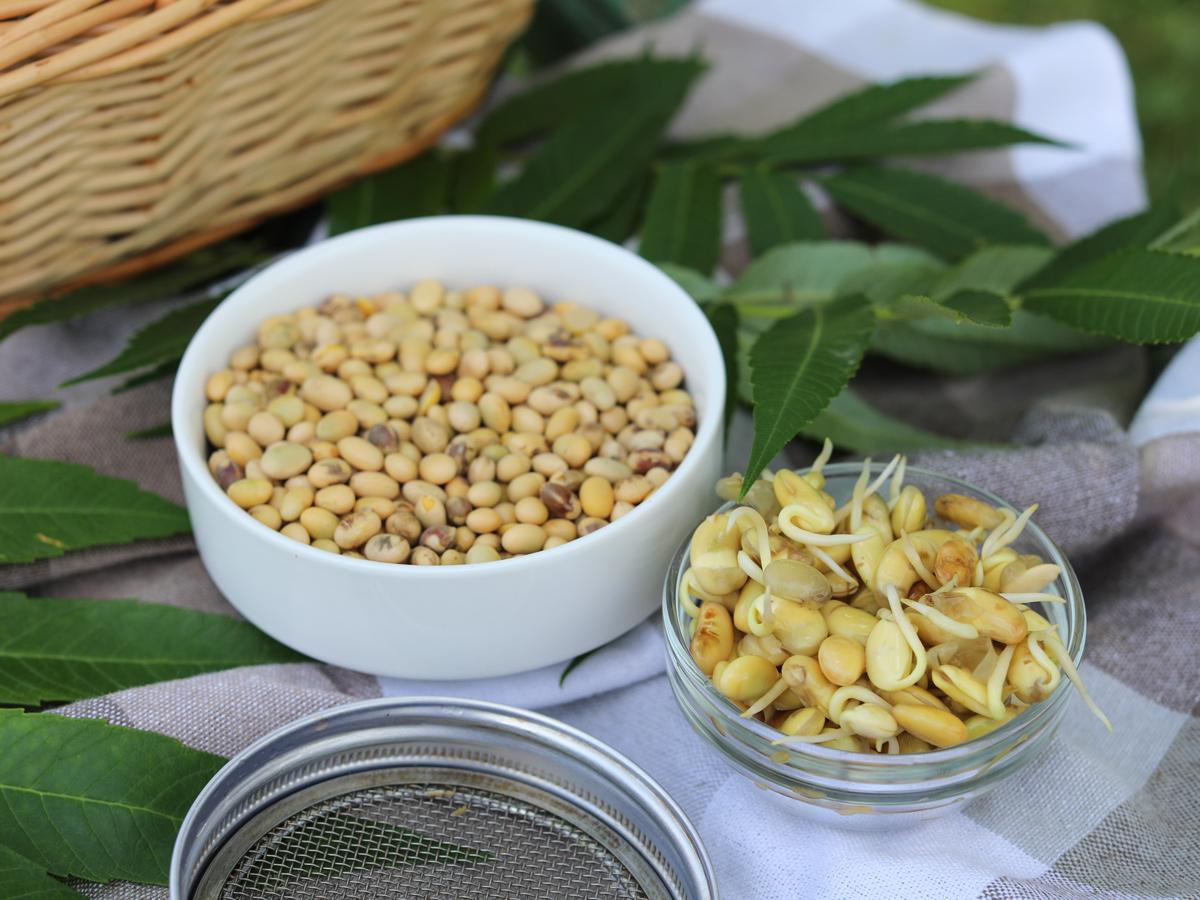 Ростки сои: как проращивать и употреблять