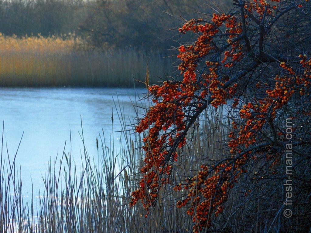 Облепиха распространена в поймах рек и на берегах озер